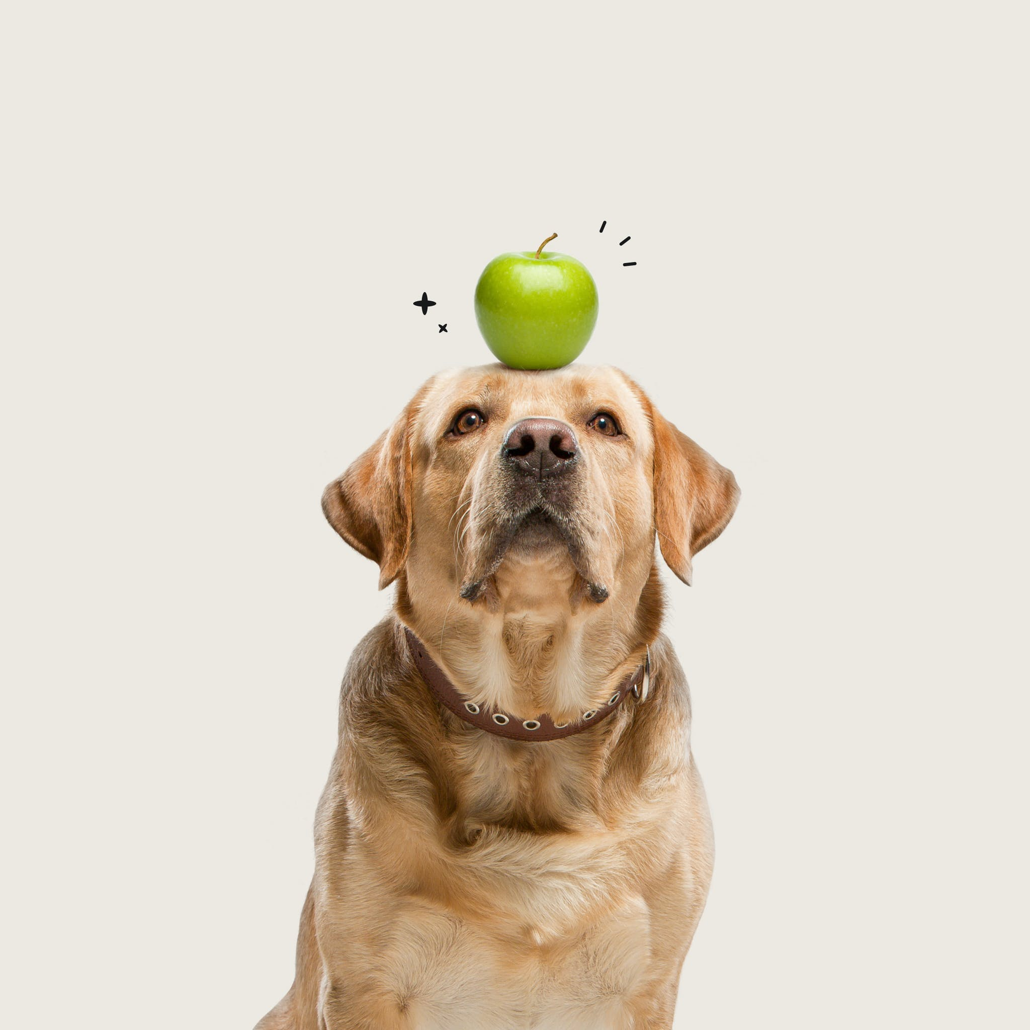 Just Food For Dogs project thumbnail: A golden retriever with a green apple on it's head