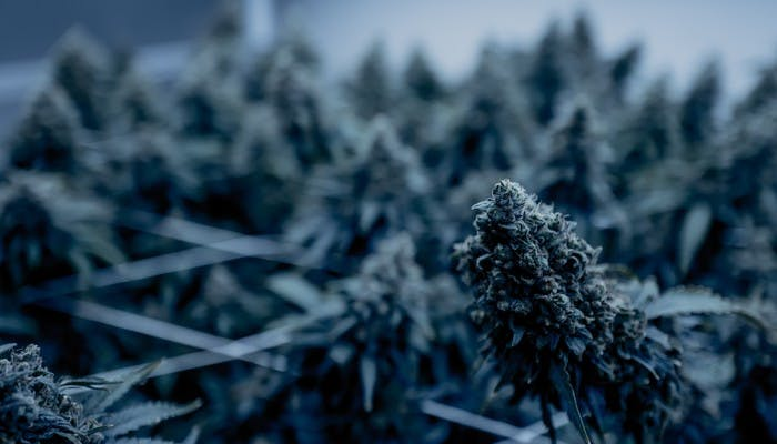 Weird Places to Grow Marijuana – Cannabis Grow Ops