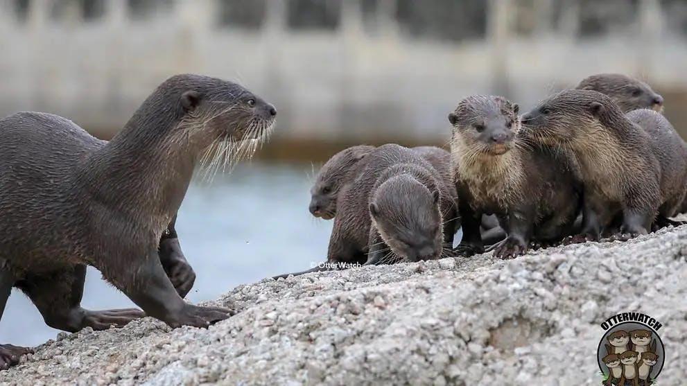 Bishan otter family