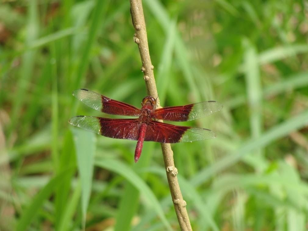 Sultan Dragonfly spotted at Tampines Eco Green Wildlife