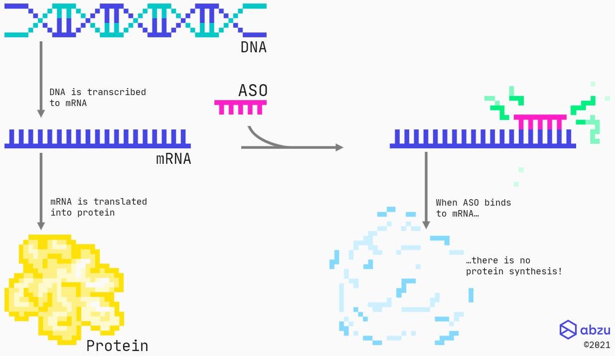 Mechanism of action for RNase H recruiting ASOs targeting protein coding RNAs