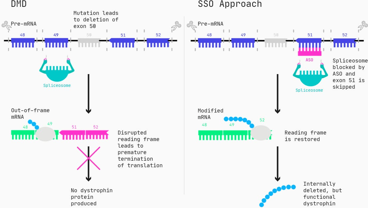 One type of drug that can restore the function of dystrophin for these patients are Antisense Oligonucleotides (ASOs), specifically in the form of splice switching ASOs.