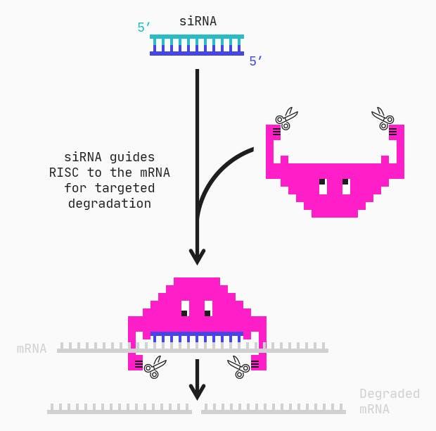 siRNA mediated mRNA degradation mechanism via RISC