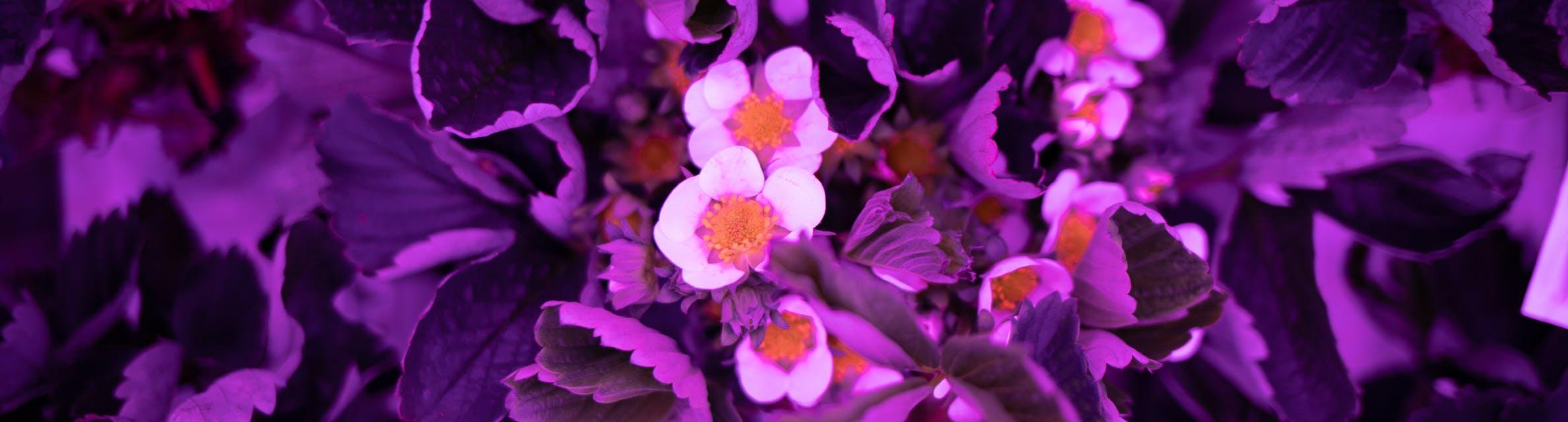 Des fleurs de fraisiers sous une lumière violette