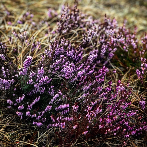 purple flowers (credit Alex Lazarević)