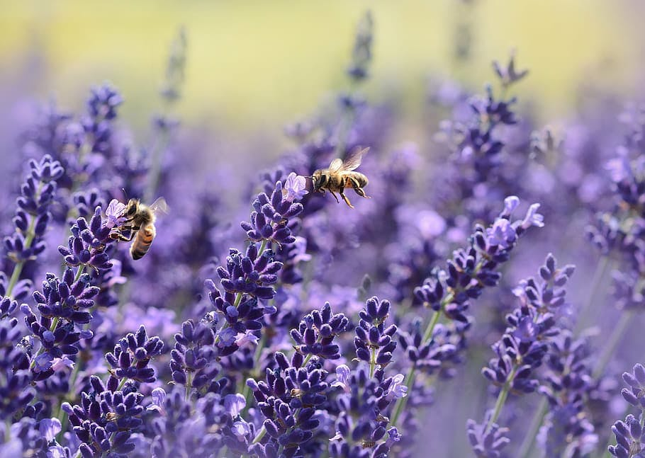 bees on lavender plants