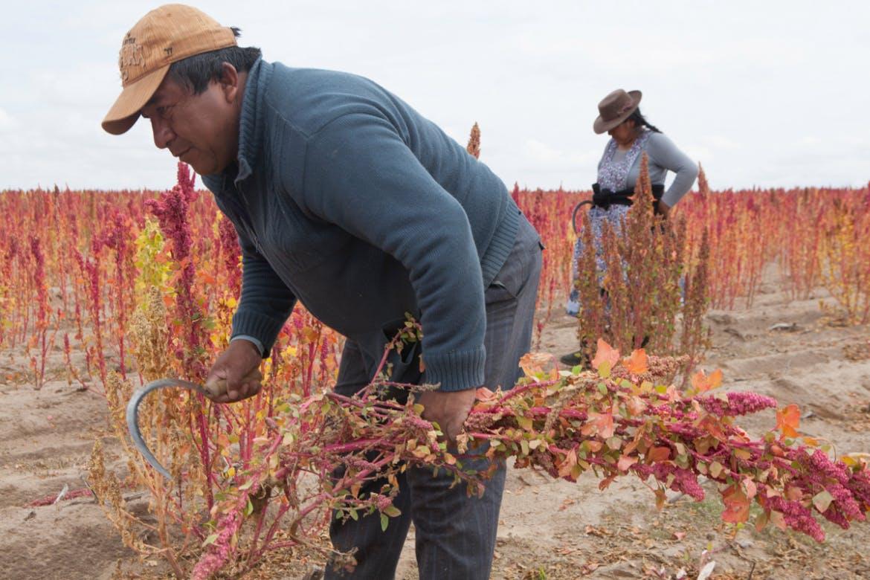 quinoa harvest