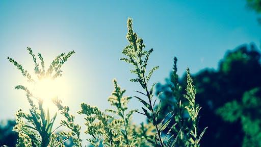 sun coming through plants