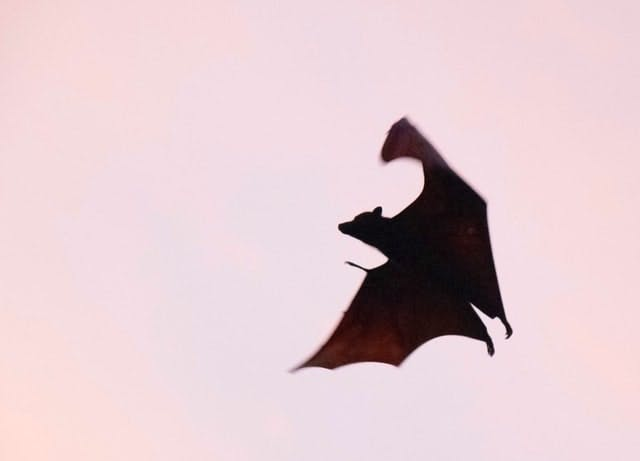 bat flying across sunset