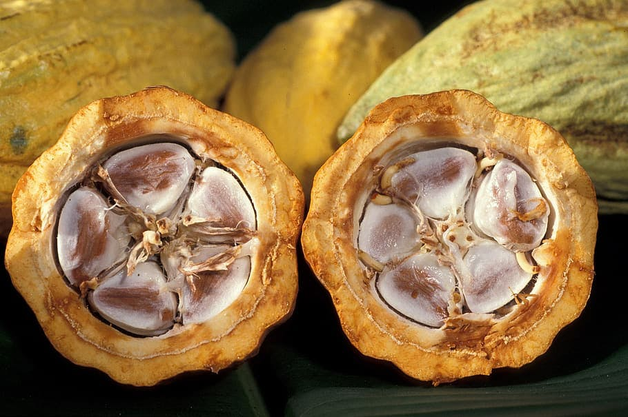 cacao seed split in half