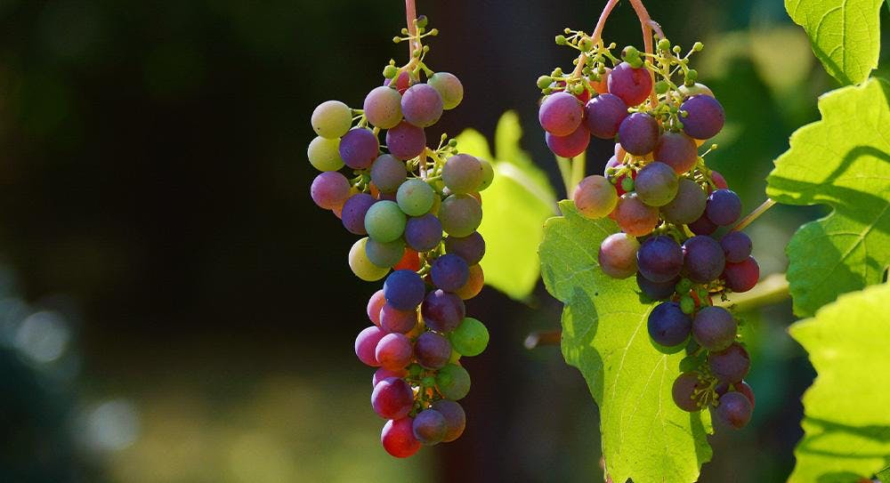 bunches of grapes on a vine