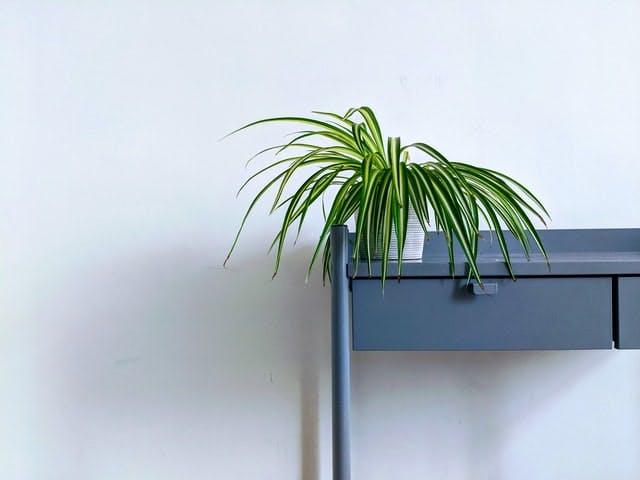 spider plant on a shelf