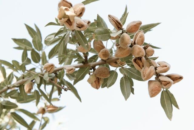 almond tree before harvest