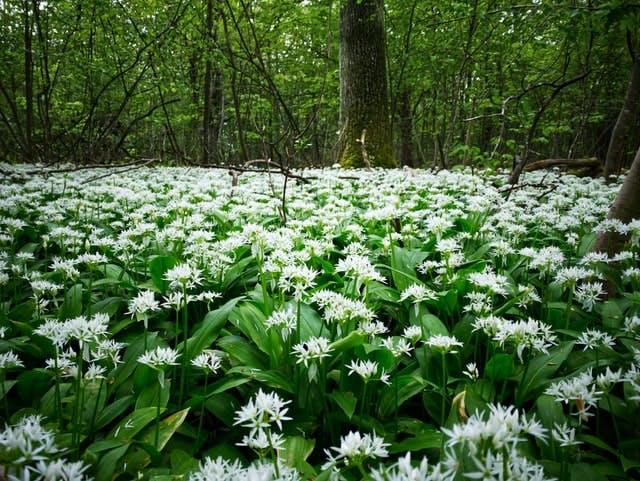 a forest of wild garlic