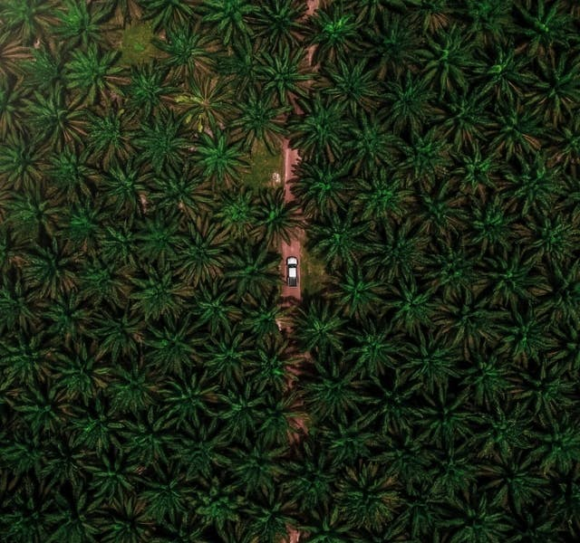 palm oil trees over head