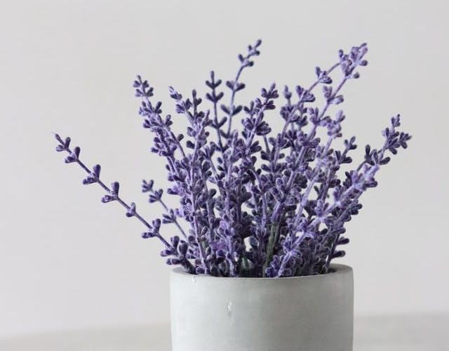 lavender plant ina pot
