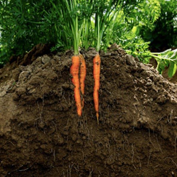 carrots-in-soil