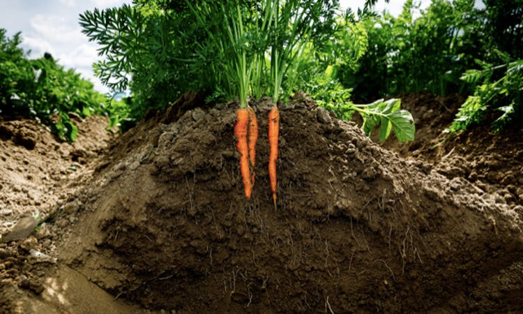 carrots-in-soil