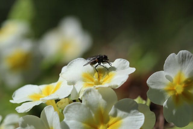 primrose with insect on