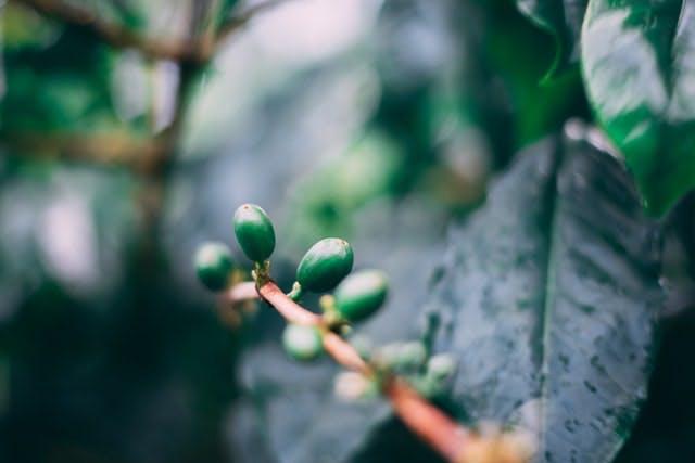 a coffee plant