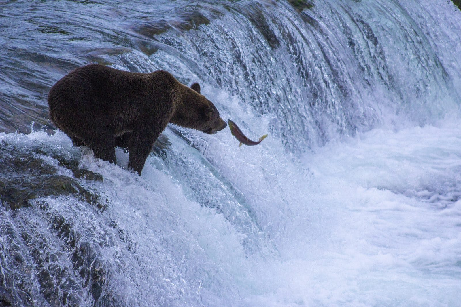 A brown bear waiting for the right salmon in Katmai National Park. Photo by: Sam Carter