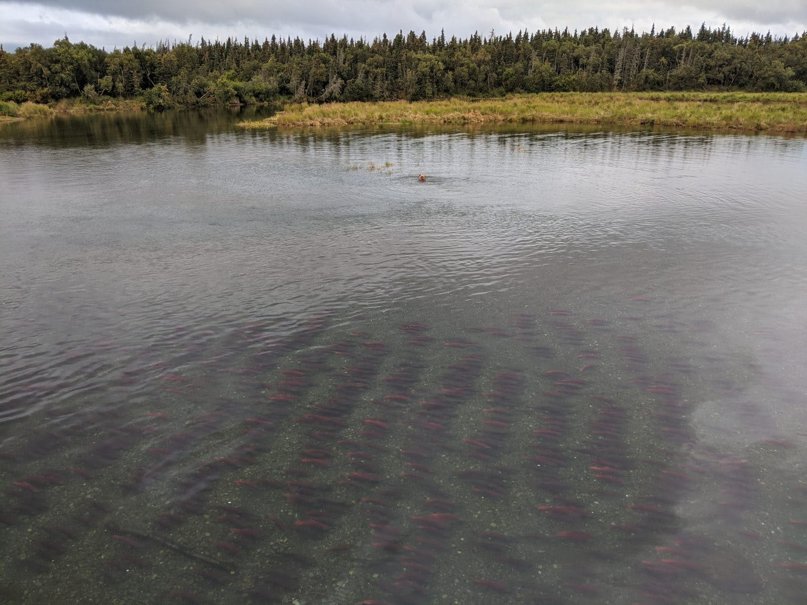 A brown bear fishes for salmon in the distance in Katmai. Photo by: Sam Carter