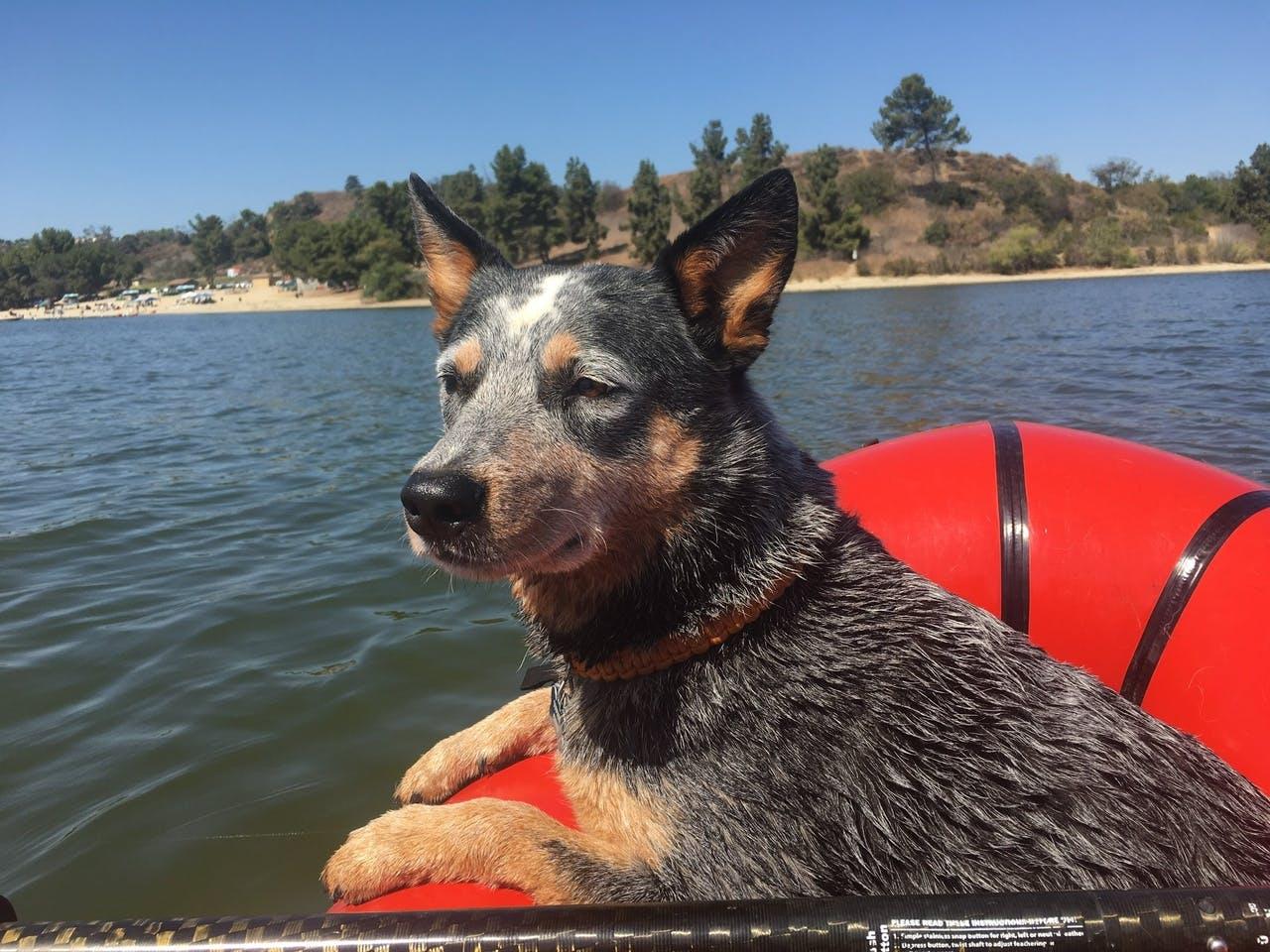 "Kelly Hearn: ""Sodog on Bonelli: SoDog is on a paddle on the lake."""