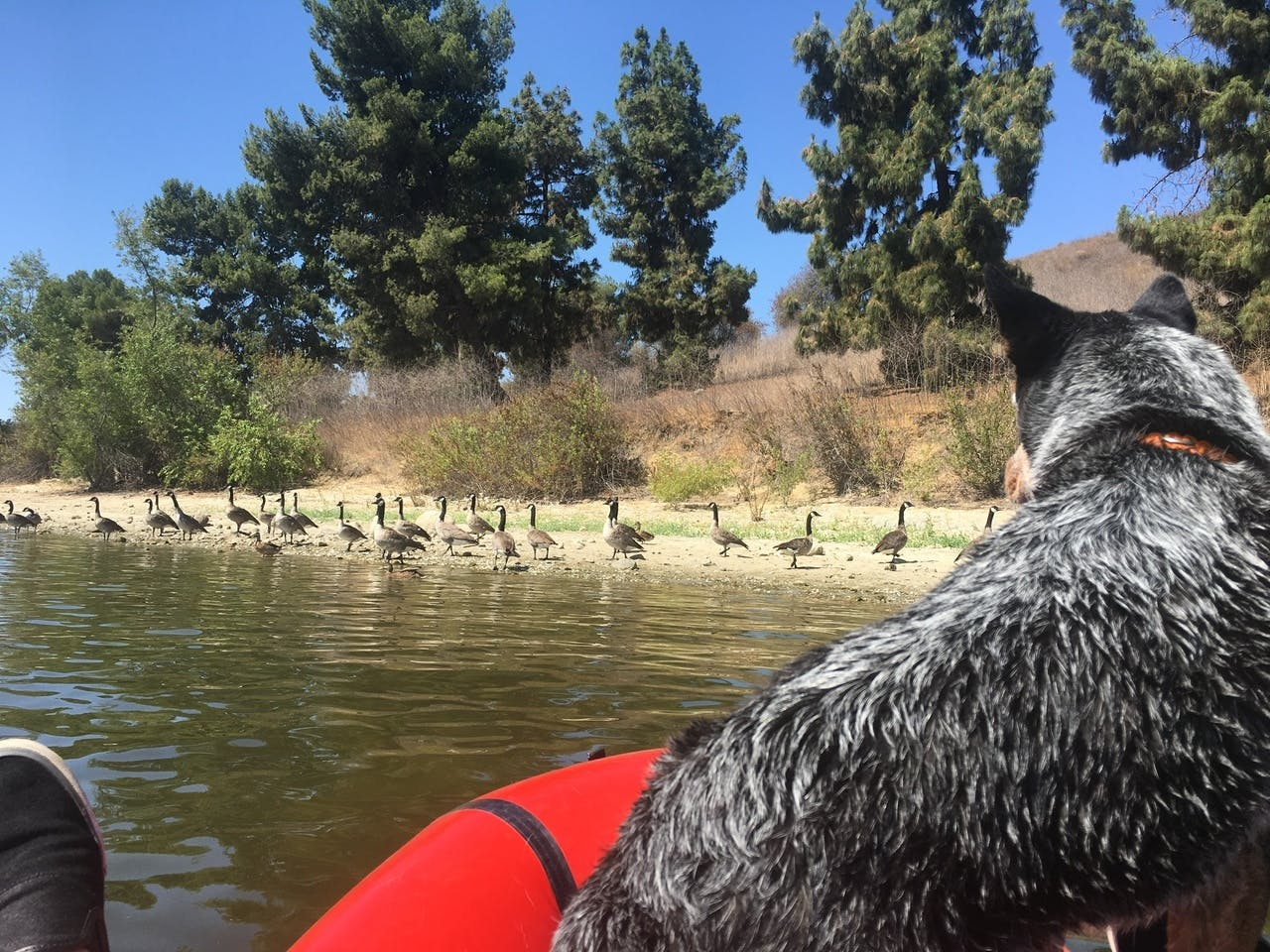"""Kelly Hearn: """"Sodog and the geese: Sodog checking the geese out."""""""