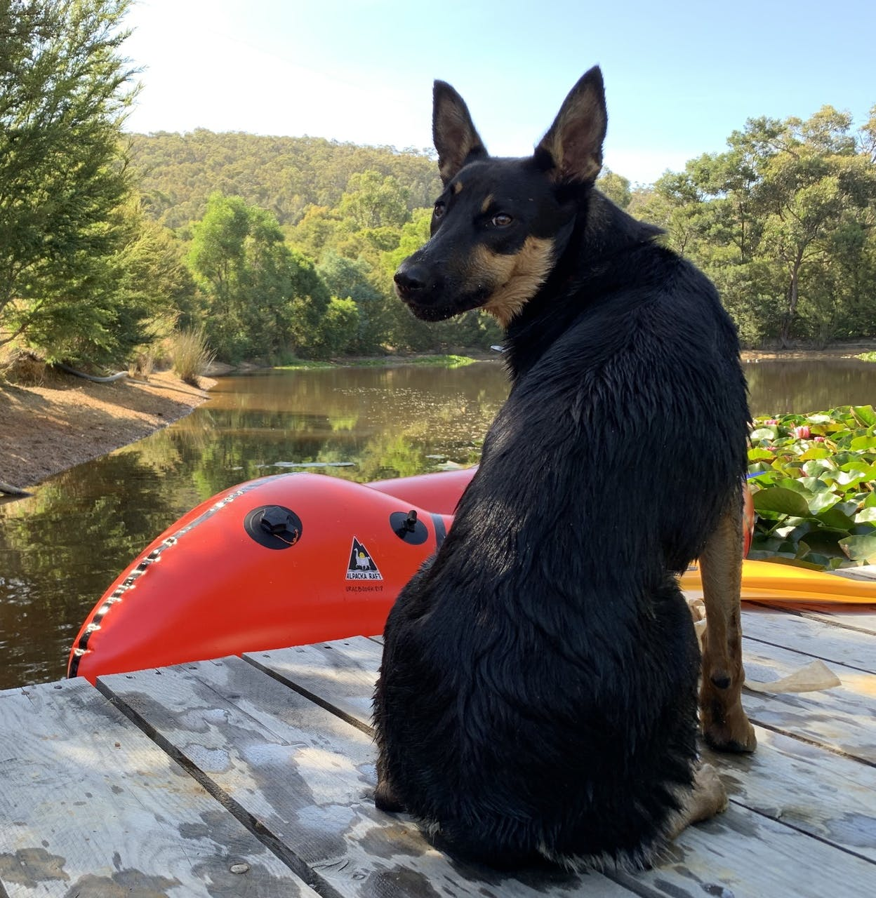 """""""Herding the flock? When I overheard the hoomans talking about getting a couple of Alpackas I was super excited to put my herding skills into action. Wasn't expecting to have to learn new water skills instead. #kelpiesofpackrafting."""""""