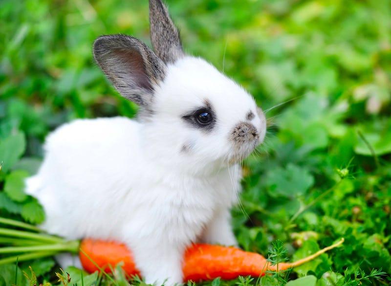 Hase mit Karotte