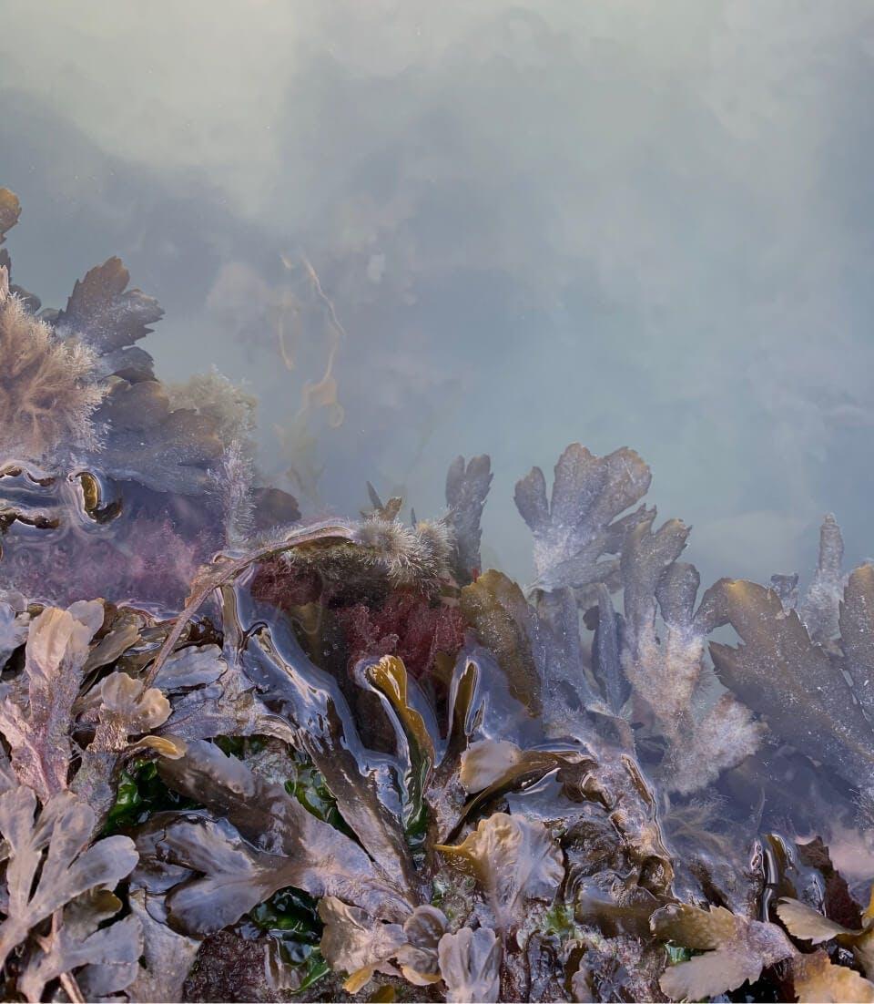 Purple Seaweed
