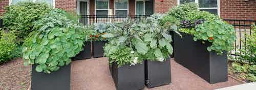 Outdoor community herb garden at AMLI Deerfield with green leafy vegetables and view of the building's exterior brick facade