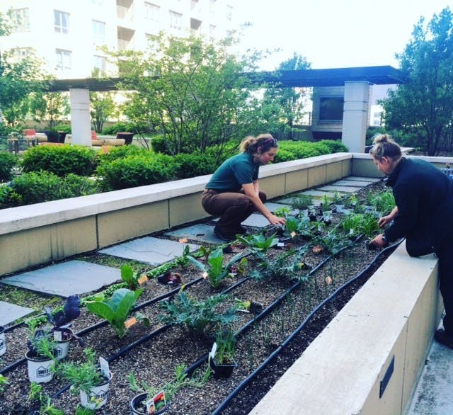 Educators from The Organic Gardener tend to the resident gardens at AMLI River North.