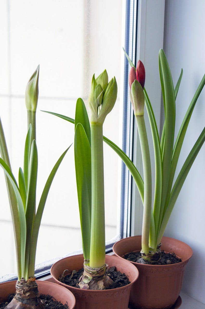 Three pots of tulips next to a window