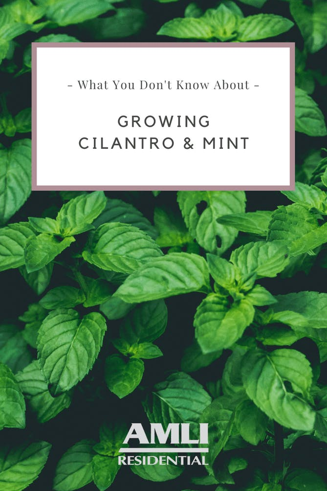 growing cilantro and mint