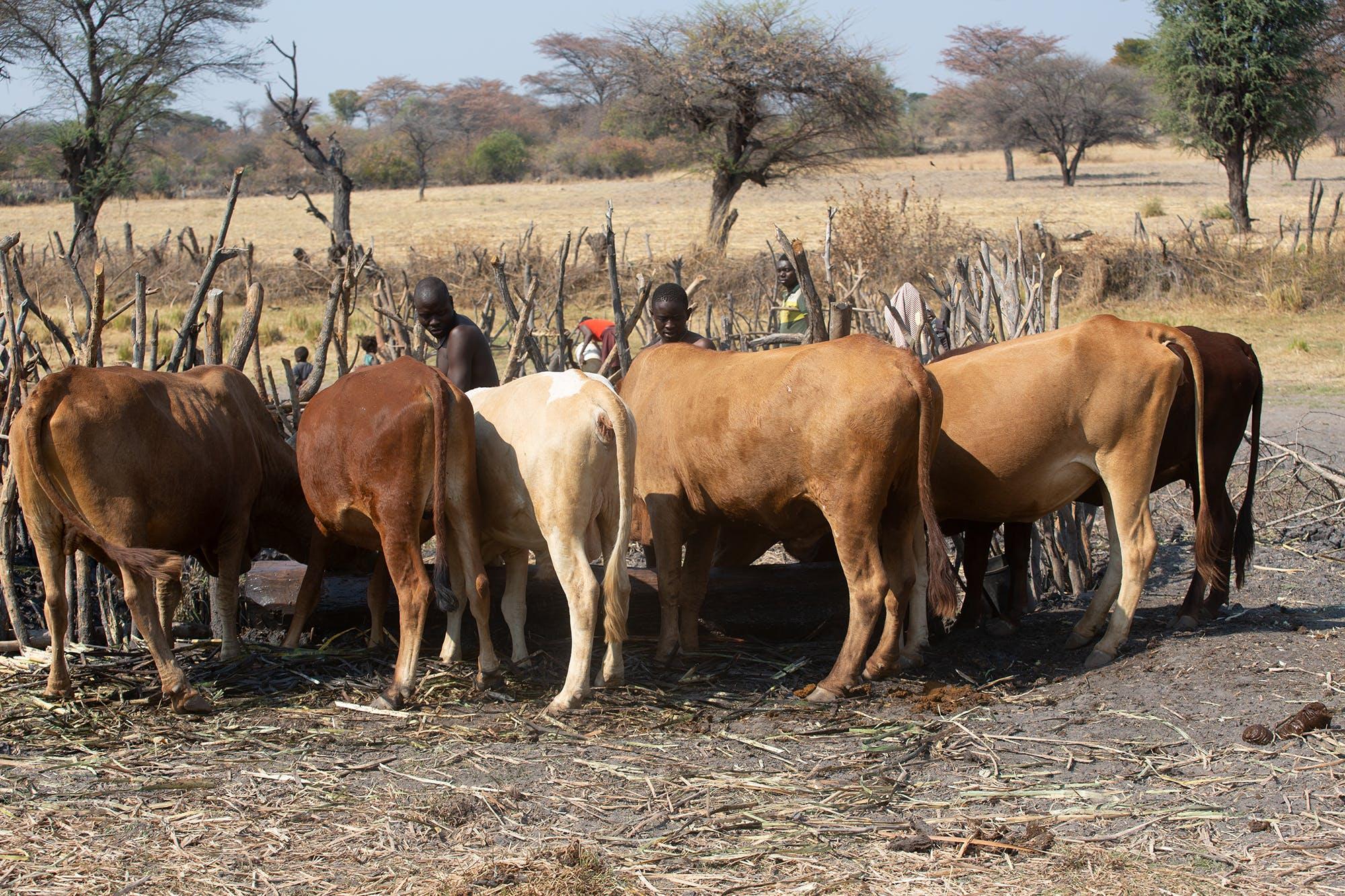 Populations pastorales dans la province de Huîla © BwalaMidia