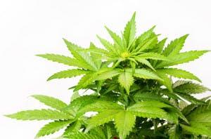 Can HOAs ban Marijuana?