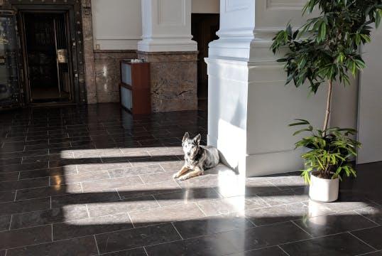 Medium sized blue-heeler dog is lies in a sunny spot in an office