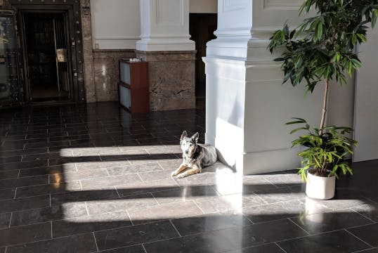 Medium sized blue-heeler dog is lies in a sunny spot in an office
