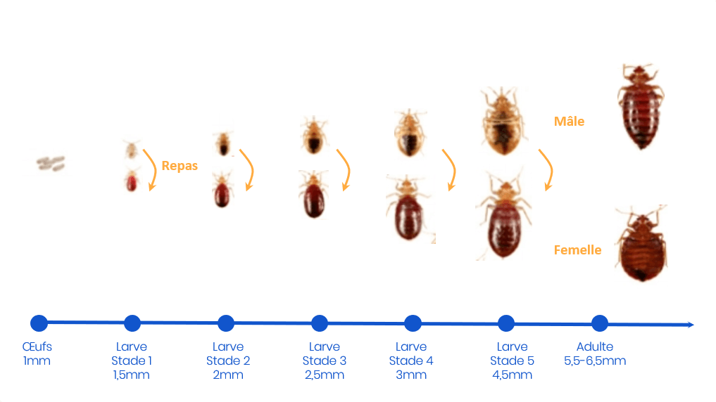 le cycle de vie et de reproduction des punaises de lit, de l'oeuf jusqu'à l'âge adulte
