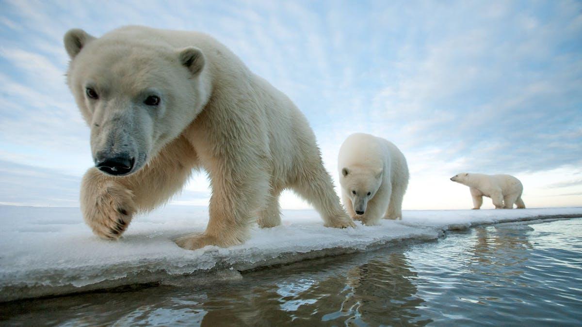 Adorable polar bear pups walking toward the camera at the edge of an ice floe.