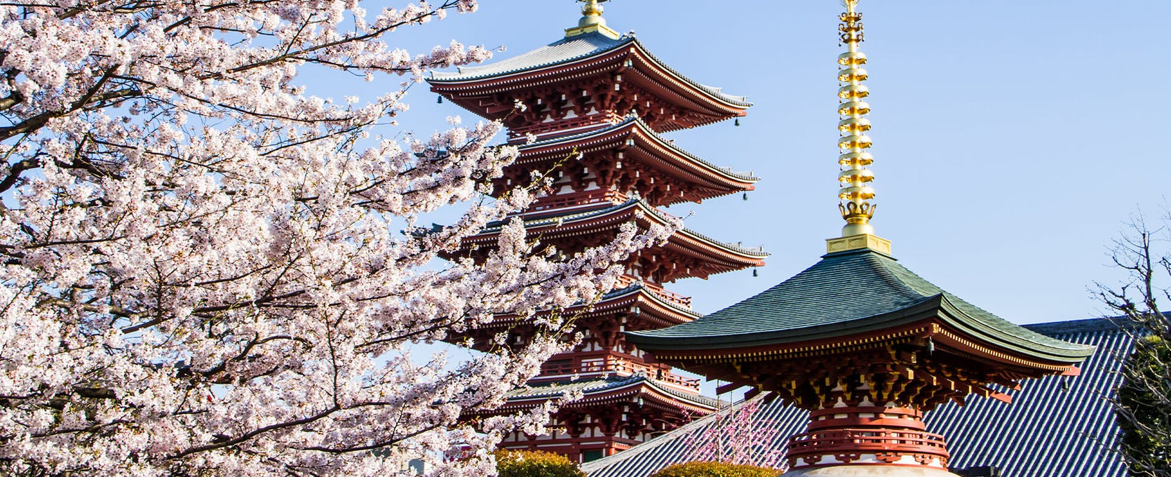 Japanese buildings with cherry blossom trees