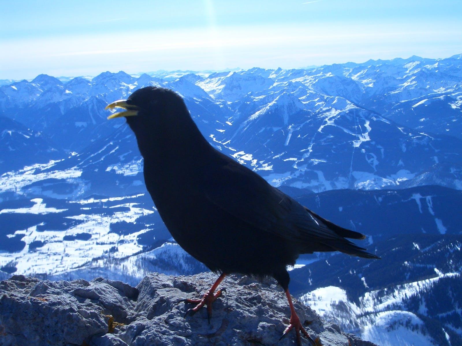 Dohle am Dachstein im Februar 2006