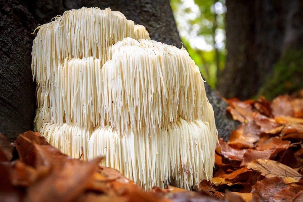 Lions mane mushroom in the wild
