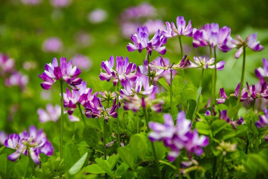 Astragalus membranaceus (Astragalus)