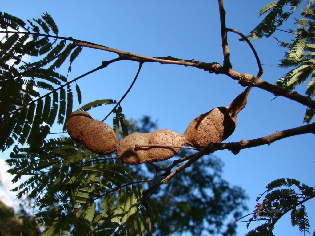 Image: Adenanthera colubrina flowers and seed pods. Source: Wikimedia commons.