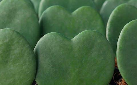 Guía de cuidados de Hoya Heart
