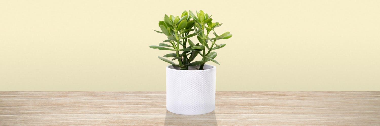 Cruza los dedos y planta jade en la entrada: ¿Qué plantas dan buena suerte de tenerlas en casa?