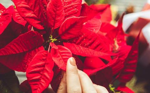 Sobrevivientes: guía para cuidar tu Poinsettia