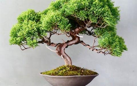 Bonsai: un pequeño maestro